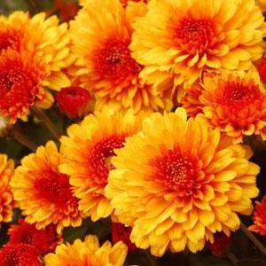fall-garden-mums-ahner-florist
