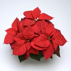 Christmas Aurora Poinsettia Selecta 2015 Color Code: 193c Selecta, SK 104 Sweep, Vegetative 12.13 West Chicago, Mark Widhalm SK104_01_02.JPG POI14-16878.JPG